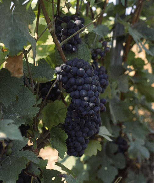 Pinot Meunier grapes on the vine